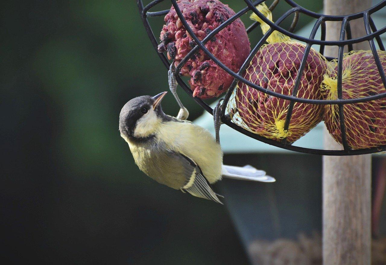 tit, songbird, bird